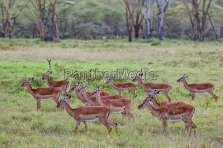 group of female impalablack footed antelope