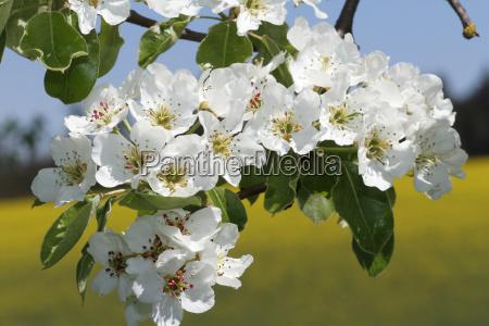 pear blossompear tree pyrus communismostviertelniederosterreichaustriaeurope