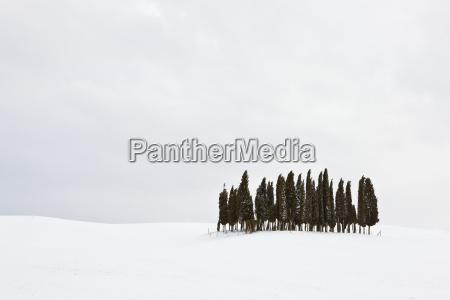 zypressengruppe zypressen cupressus im schnee