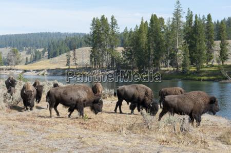 herd american bison bison bison on