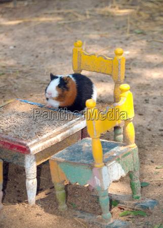 hausmeerschweinchen cavia porcellus sitzt auf einem