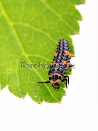 larve vom siebenpunkt marienkafer coccinella septempunctata
