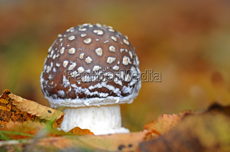 pantherpilz amanita pantherina