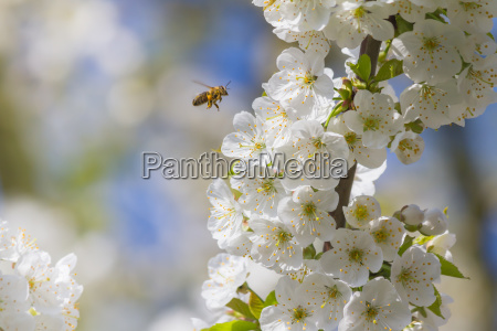 bees and cherry blossoms
