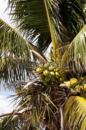 koenigliche palme mit kokosnuessen die sich