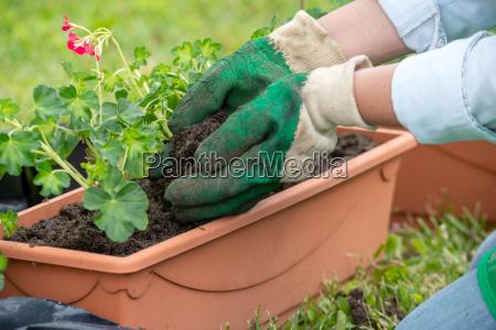 frau potting geranium blumen