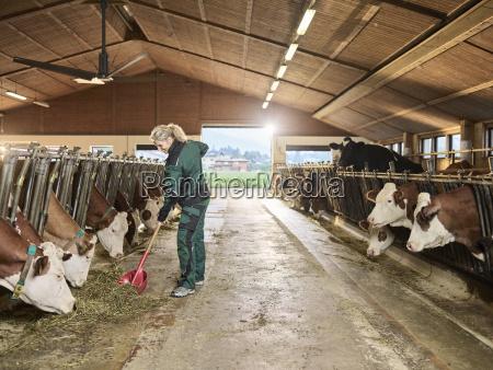 laechelnde fuetterungskuehe des weiblichen landwirts im