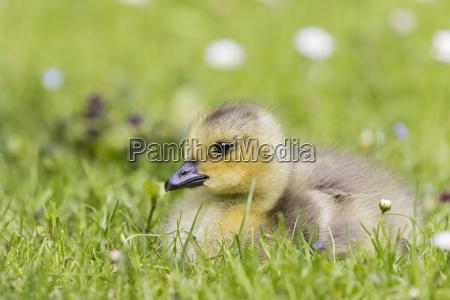 gosling of canada goose lying on