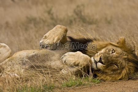 portraet eines schlafenden loewen krueger suedafrika