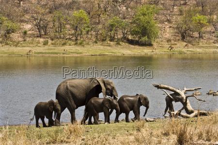 weiblicher afrikanischer bugelefant und drei babys