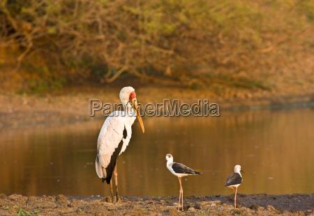 vogel sonnenuntergang afrika abendrot storch ibis
