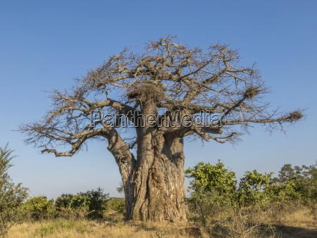 baum afrika savanne trocken ausgedorrt trocknen