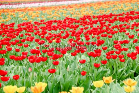 farbenfrohe tulpenfelder in holland im fruehling