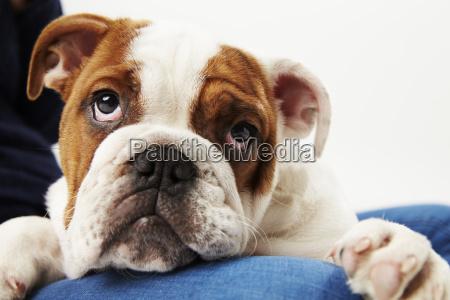 studio shot of british bulldog puppy