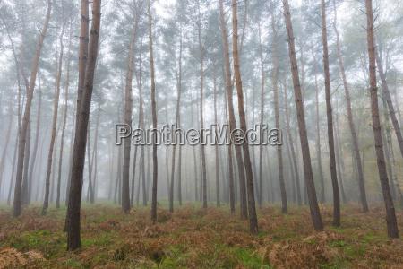 baeume im kiefernwald an einem nersten