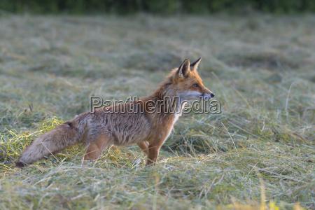 profilportraet eines rotfuchses vulpes vulpes der