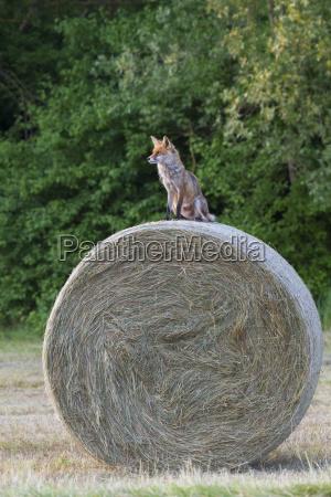 rotfuchs vulpes vulpes sitzt auf einem
