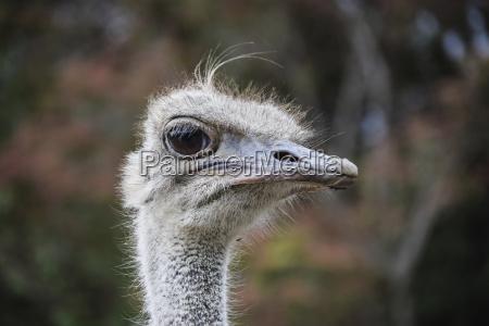 close up portrait of ostrich