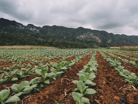 tobacco crops growing on field by
