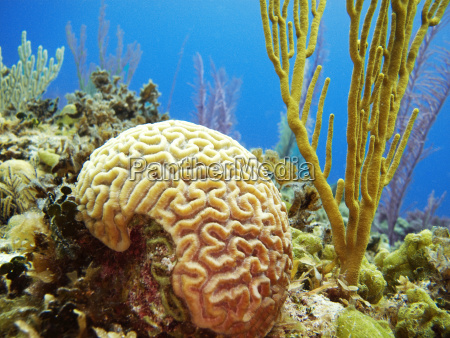 big brain coral in sea