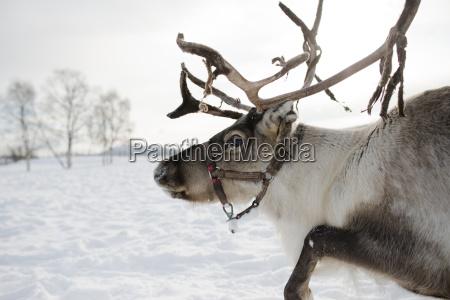 side view of reindeer standing in