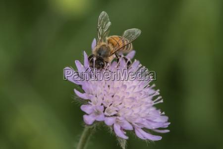 biene sammelt nektar an einer scabiose