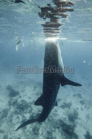 walhai schwimmt unter wasser