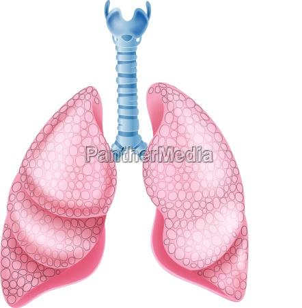 illustration der gesunden lunge anatomie
