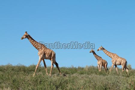 giraffen gegen einen blauen himmel