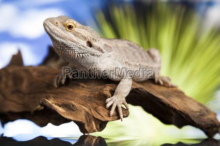 lizard wurzel bartdrache auf gruenem hintergrund