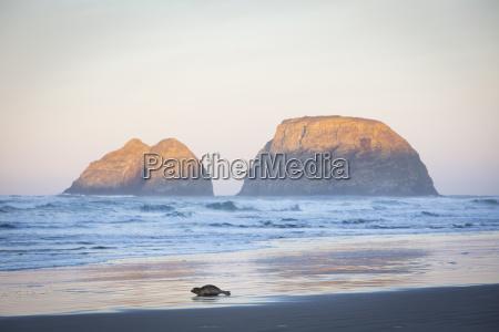 seal on beach at sunrise netarts