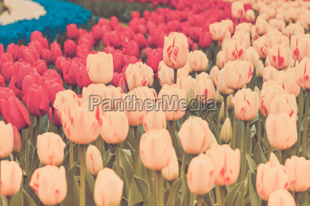 multicolored tulips on the flowerbed