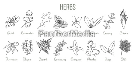 set of popular culinary herbs realistic
