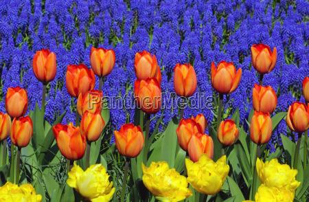bunte tulpen im garten fruehling