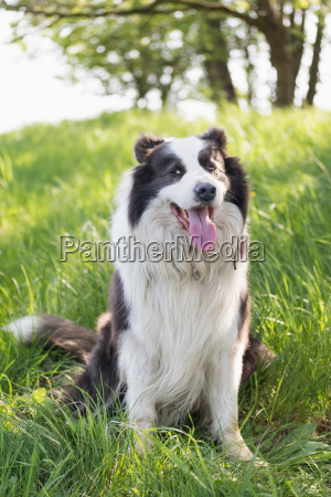 smiling border collie is sitting in
