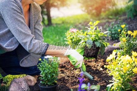 frau die sommerblumen im hausgartenbett pflanzt
