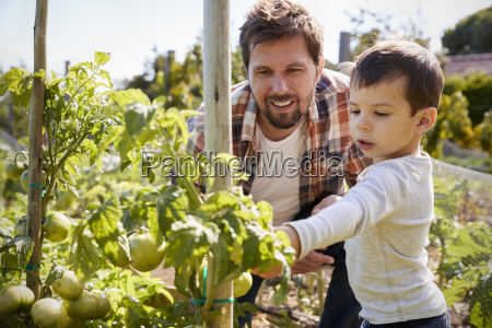vater und sohn sucht mit tomaten
