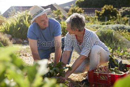 mature couple harvesting beetroot on community