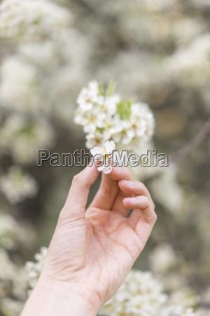 hand holding white blossom of fruit