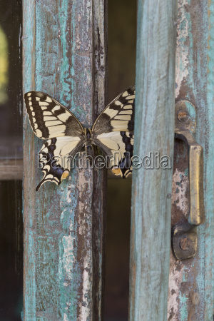painted blue wood butterfly