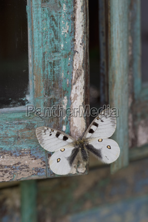 painted blue wood white butterfly