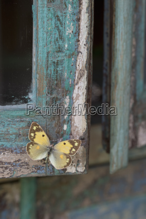 painted blue wood yellow butterfly