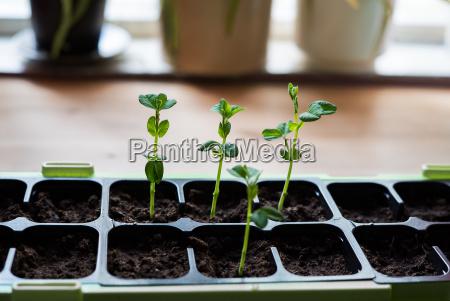 junge bio hausgemachte gruene schneeals wachsen