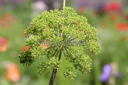 real angelica angelica archangelica