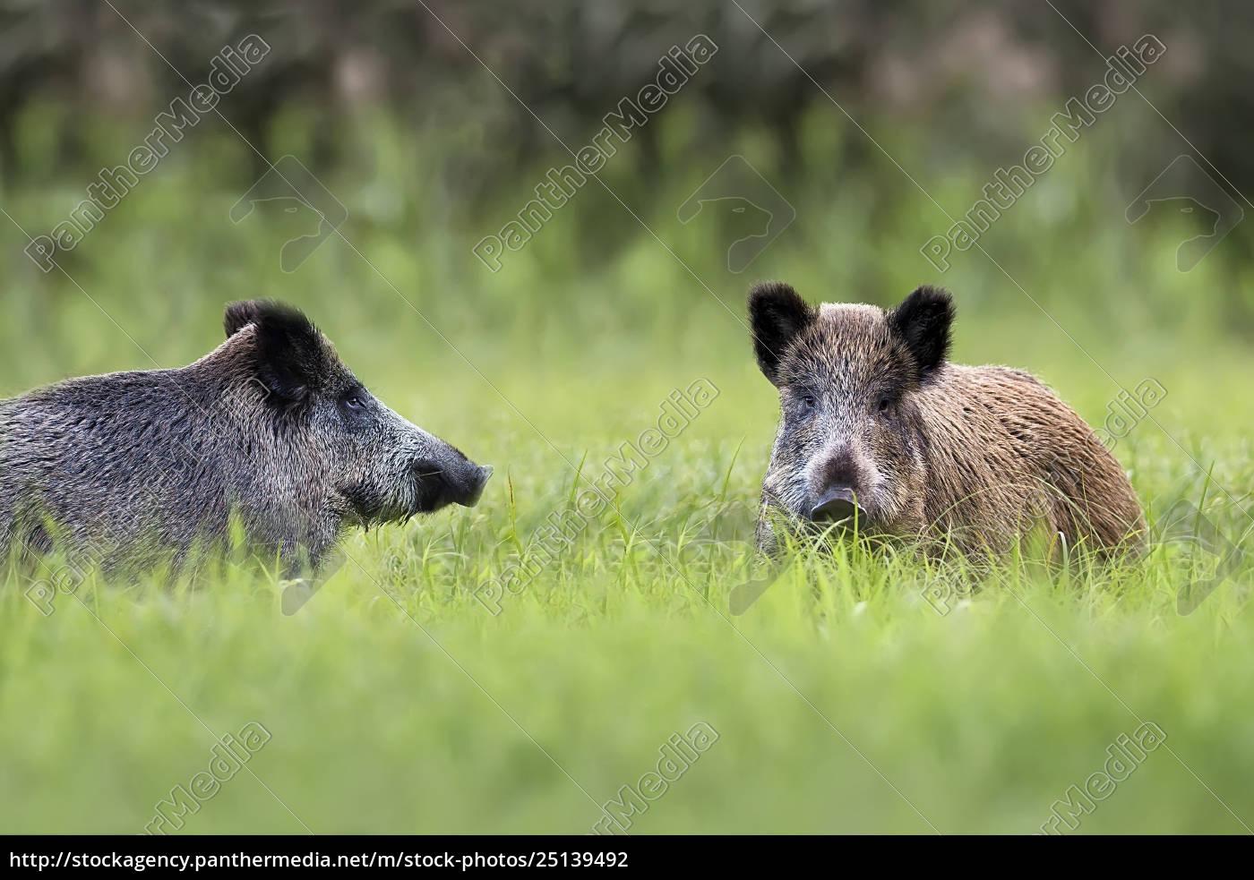 wildschweine, in, einer, lichtung - 25139492