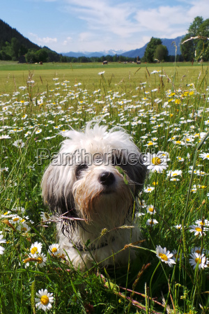 tibet terrier sits in the flower