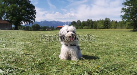 tibetan terrier purebred dog in the
