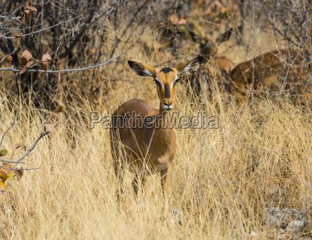 impala aepyceros melampus petersi blackfaced impala