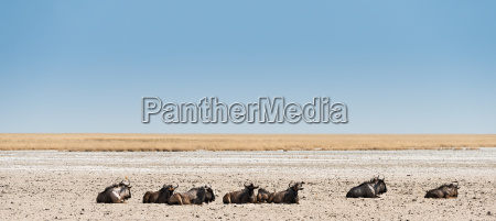 several wildebeests lie in the midday