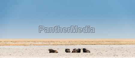 several gnus lie in the midday